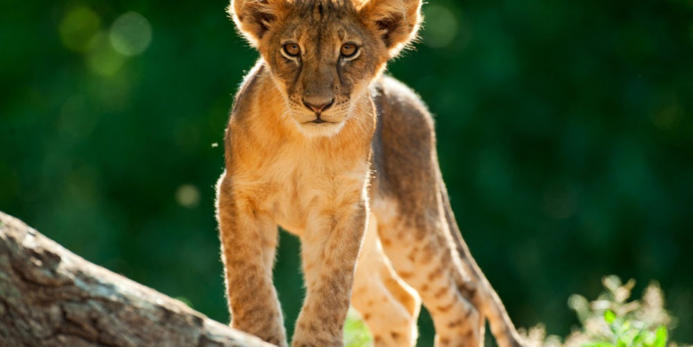 ET Lion Cub 1 of 1
