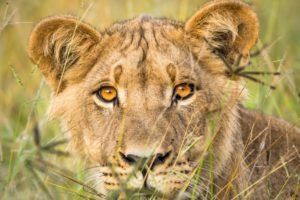 botswana lion by craig parry photo safari