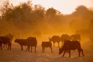 chobe buffaloes at sunrise