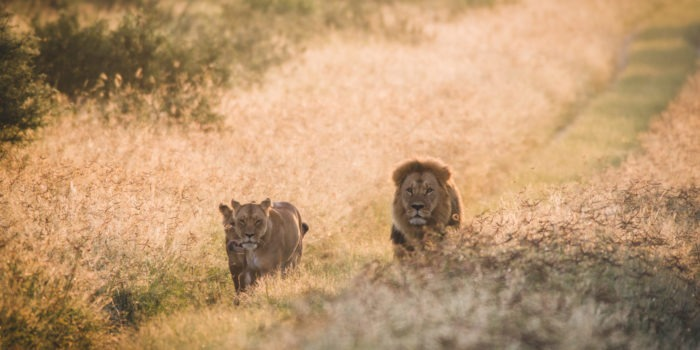 dinaka lions walking on road