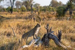 khwai leopard gamedrive
