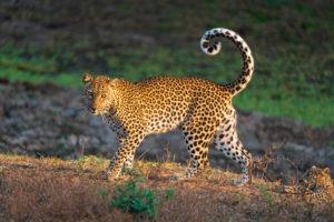 leopard luangwa zambia photo safari