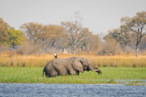 moremi fish eagle riding elephant