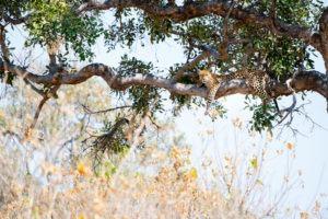 moremi leopard in tree