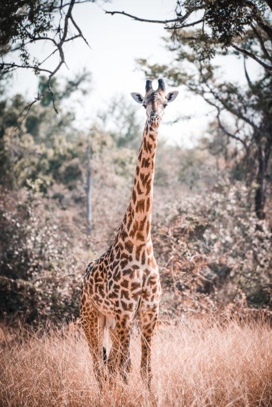 Luambe-Zambia-Giraffe