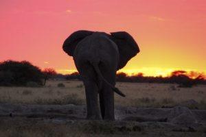 Makgadikgadi Pans Nxai Pans Wildlife Elephant Sunset