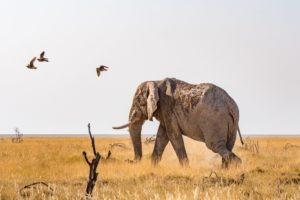 Northen Namibia etosha big five elephant