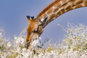 Northern Namibia Etosha Giraffe safari