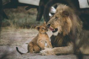 Botswana-Lion-Cub