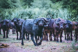 South Africa Makuleke buffaloes on foot