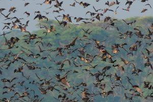 Zambia Kasanka bat migration