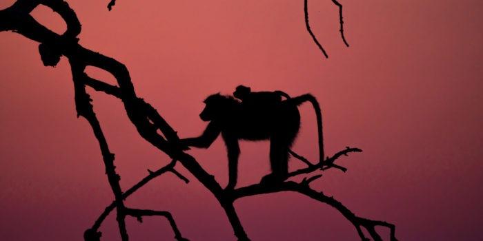 baboon chobe sunset photosafari