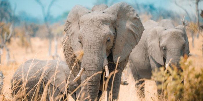 elephant botswana mother khwai