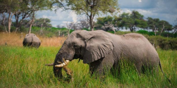 elephant khwai delta