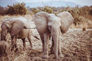 elephant luangwa zambia herd
