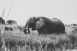 kanana elephant okavango boating