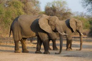 nkozi camp south luangwa elephants