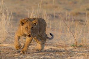 nkozi camp south luangwa lion cub