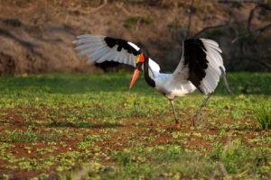 nkozi camp south luangwa stork