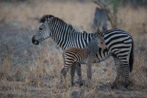 nkozi camp south luangwa zebra
