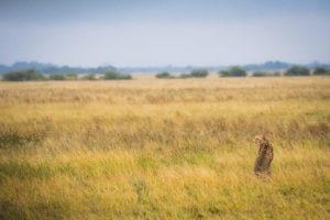 nxai pan cheetah grassland