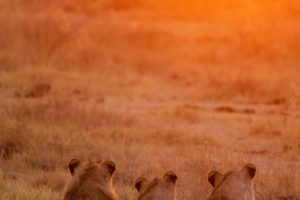 nxai pan lions wathcing sunrise