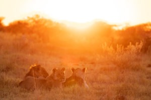 nxai pan three lions sunrise