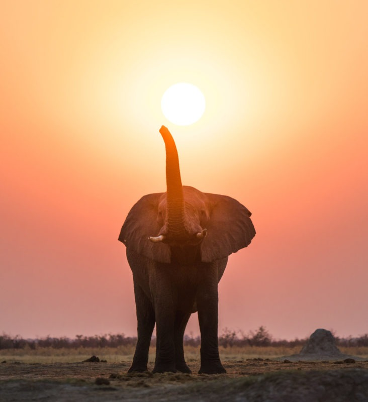 savuti elephant sunset