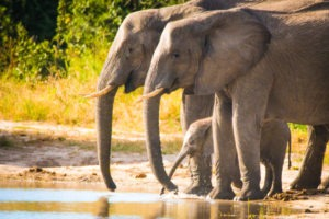 savuti elephants drinking baby
