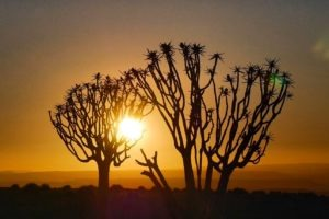 southern namibia quiver tree