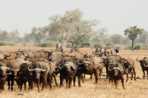 zambia luangwa valley big five walking safari