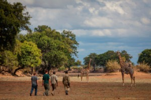 zambia south luangwa walking safari giraffe in riverbed