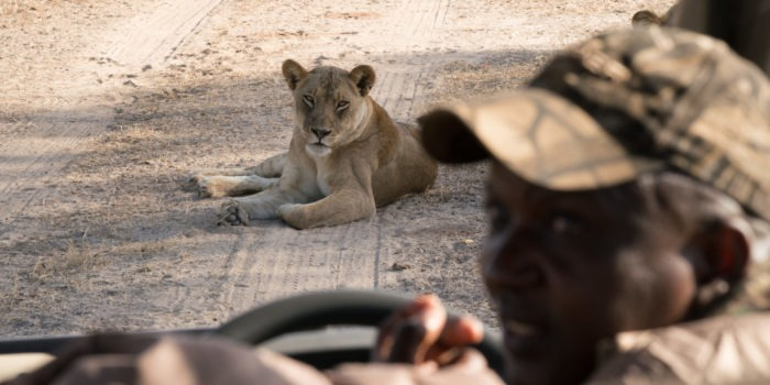 zimbabwe mana pools lion game drive safari guide