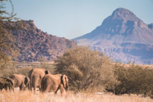 desert elephants namibia mountain