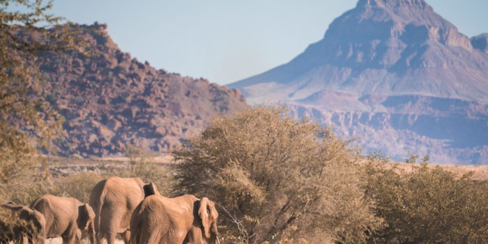 desert elephants namibia mountain