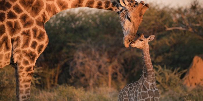 giraffe namibia baby
