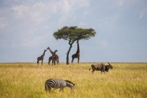 jason tanzania photo giraffe acacia