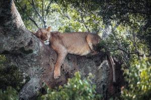 jason tanzania photo lion tree