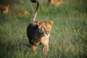 jason tanzania photo lioness