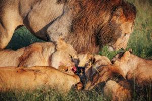 jason tanzania photo lions kill