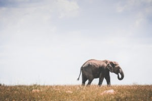 tanzania safaris elephant