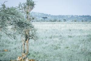 tanzania safaris lions