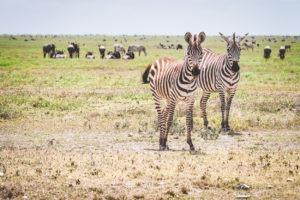 tanzania safaris zebra wildebeest