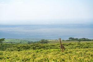 entamanu ngorongoro giraffe landscape