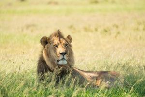 lamai serengeti lion