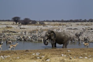 Elephant drinking at Okaukuejo Waterhole 3