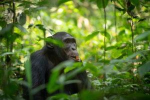 chimpanzee uganda primate trekking eating