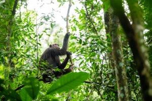 chimpanzee uganda primate trekking tree