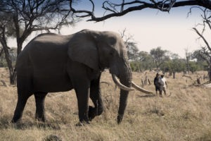 khwai tented camp botswana elephant walking