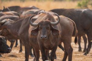 uganda wildlife buffaloes